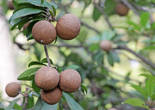 Sapodilla Fruits Stock Photo