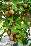 Sapodilla Fruits. On tree on Fruits garden stock image