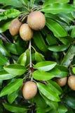 Sapodilla Fruits Stock Photography