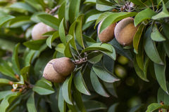 Sapodilla or Manilkara zapota or Chiku Royalty Free Stock Photography