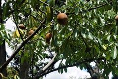 Sapodilla - Manilkara zapota owoc dostrzegać w San Jose fotografia stock