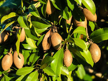Free Sapodilla On Tree Royalty Free Stock Image - 92220526