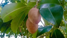 Fruits. Sapodilla in the organic orchard Royalty Free Stock Image