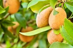 Sapodilla owoc w ogródzie. Zdjęcie Stock