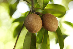 Sapodilla. Ripening Sapodilla fruits in an organic garden. Other names - Zapota, Chikkoo Sapota. Sapodilla is a tropical, evergreen tree fruit berry with Royalty Free Stock Photography