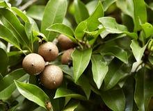 Sapodilla. Ripening Sapodilla fruits in an organic garden. Other names - Zapota, Chikkoo Sapota. Sapodilla is a tropical, evergreen tree fruit berry with Royalty Free Stock Photos