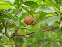 Sapodilla. It's fruitless fruit that has a sweet taste as a supplement and is poppular in thailand Royalty Free Stock Images