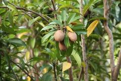 Sapodilla tree Stock Images