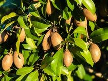 Sapodilla on tree. In an organic garden Royalty Free Stock Image
