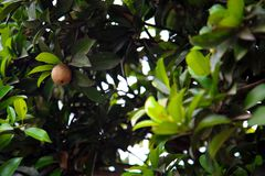 Sapodilla in the tree. Sapodilla or sapota chikoo is another popular tropical fruit in line with mango, banana, jackfruit, etc. Sapota composes of soft, easily stock photos