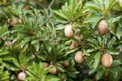 Sapodilla, tropical fruit. On tree Stock Photo