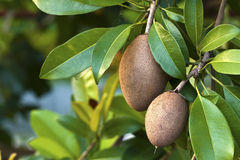 Sapodilla, tropical fruit. Royalty Free Stock Photography