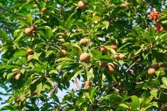 Sapodillaen på träden Royaltyfri Bild