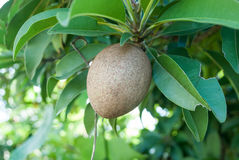 Sapodillafrukt på treen Royaltyfri Fotografi