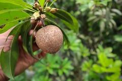 Sapodillafrukttr?d i hand arkivbild