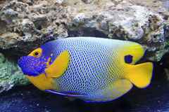 Sapore blu, pesce di corallo marino Fotografia Stock Libera da Diritti