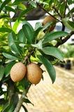 Sapota fresca sull'albero Immagini Stock Libere da Diritti