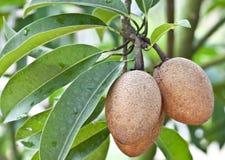 Sapota fruit. Hanging on the tree Royalty Free Stock Photography