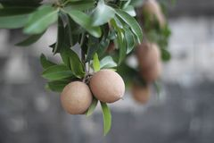 Sapota frukt på träd Royaltyfria Bilder