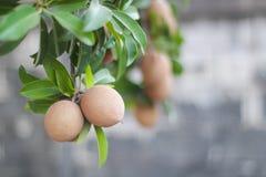 Sapota frukt på träd Royaltyfria Foton