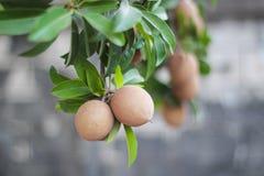 Sapota frukt på träd Royaltyfri Fotografi