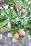 Sapota frukt på träd Royaltyfri Foto