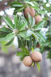Sapota frukt på träd Arkivfoto