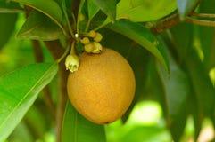 Sapota o chickoo sull'albero fotografia stock libera da diritti