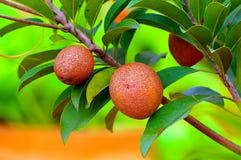 Sapota or sapodilla fruits Stock Image