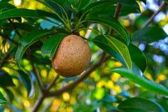 Sapote natural con las hojas en árbol Imagen de archivo