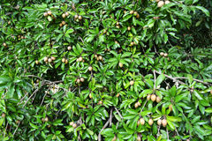 Sapotillbaum-Früchte Stockfotografie