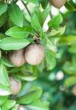 Sapotillbaumfrucht auf dem Baum Lizenzfreies Stockbild