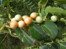 Sapotille (zapota de Manilkara) Photographie stock libre de droits