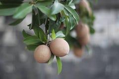 Sapoty owoc na drzewie Obrazy Royalty Free