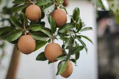 Sapoty owoc na drzewie Fotografia Royalty Free