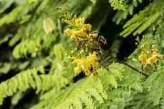 Sappan tree. (Caesalpinia sappan Linn.) In botanic garden. Stock Photo