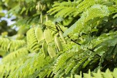 Sappan tree. (Caesalpinia sappan Linn.) In botanic garden. Stock Photos