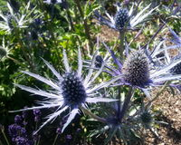 Sapphire Blue Sea Holly Photo libre de droits