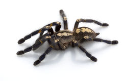 Sapphire Ornamental Tarantula Royalty Free Stock Images