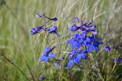 Sapphire Serenity, Delphinium glareosum, Larkspur Species,  Horse Heaven Hills Wild Flowers, Eastern Washington State Stock Photos
