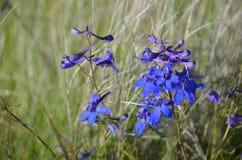 Sapphire Serenity, glareosum del delfinio, especie de la espuela de caballero, flores salvajes de las colinas del cielo del cabal Fotos de archivo