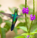 A Sapphire-spangled Emerald Hummingbird. (Amazilia lactea) stands still in the air on front of it´s nectar food hidden in a flower Stock Photo