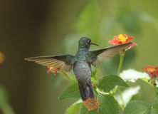 Sapphire-spangled Emerald Hummingbird (Amazilia rondoniae) Royalty Free Stock Photos
