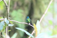 Sapphire-vented Puffleg. (Eriocnemis luciani luciani royalty free stock photography
