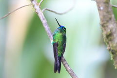Sapphire-vented Puffleg. (Eriocnemis luciani luciani royalty free stock image