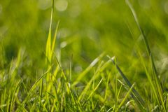 Sappig en heldergroen gras Sluit omhoog Groene grasachtergrond De textuur van het gras stock foto