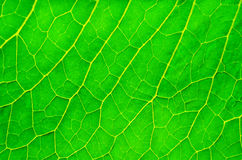 Sappig groen blad Royalty-vrije Stock Fotografie