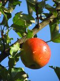 Sappige appel Stock Foto