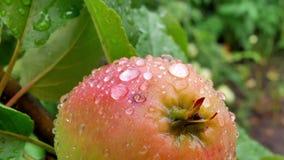 Sappige appelen op de boomtak in appelboomgaard stock videobeelden