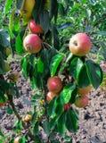 Sappige bossen van appelen op de takken van een appelboom in de tuin royalty-vrije stock afbeelding